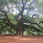 photo of the Angel Oak at Johns Island, South Carolina